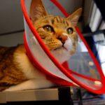 猫がエリザベスカラーを嫌がる!大人しく付ける方法を紹介
