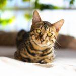 ヒョウ柄猫ベンガルの値段!人気の理由や面白い習性を紹介