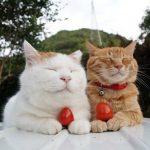 猫にトマトジュースは大丈夫?効果と与え方を解説