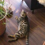 猫が床を掘る4つの理由!止めさせる方法はある?